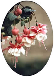 Photo of the fuchsia, Swingtime